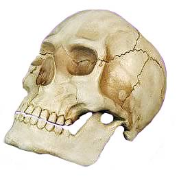 Skull With Moveable Jaw